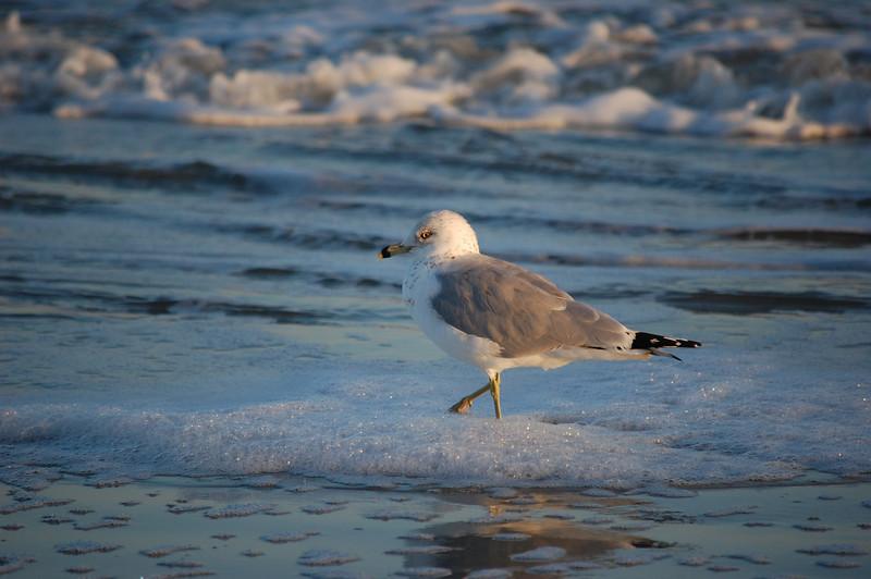 Seagull - Hilton Head 2008