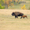 Buffalo Roundup V
