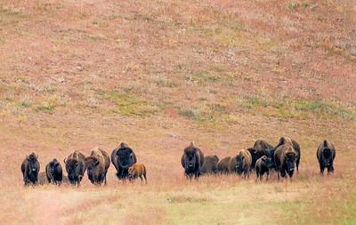 Buffalo Roundup IV