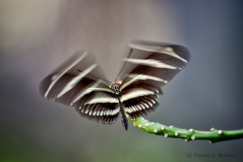 """January 31, 2012 - """"A Flutter-fly""""<br /> <br /> - spotted at Friday's shoot at the Dallas Discovery Garden."""