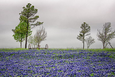 "March 30, 2012 - ""Gray Sky""  The sky was void of texture when this field of bluebonnets was captured this week.  Thanks for all you kind comments on yesterday's post.  It is now my most popular photo for this year."