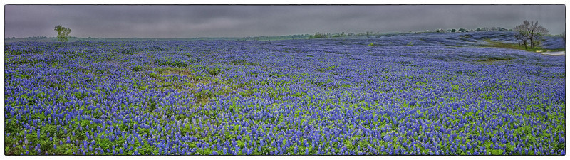 "March 31, 2012 - ""As Far As You Can See""  This 120 degree panoramic photo (created in Fujifilm X100 camera) of a field of Bluebonnets was captured this week near Ennis, Texas. (full screen viewing recommended) a slide show of the Ennis Bluebonnet Trail photo shoot can be viewed at  http://www.dakotacowboyphotography.com/Photography/Local-Walk-Abouts/Ennis-Bluebonnets/22173695_Ftvr84#!i=1771266570&k=B3j8vM3"