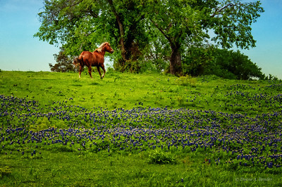 "April 3, 2012 - ""Running Through The Bluebonnets""  The gray sky was processed to a shade of blue."
