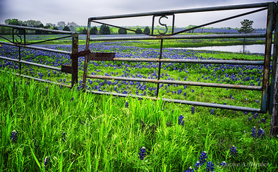 "April 4, 2012 - ""Bluebonnets On The Ranch""  some more bluebonnets today"