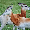 """Dama Gazelle""<br /> <br /> critically endangered"