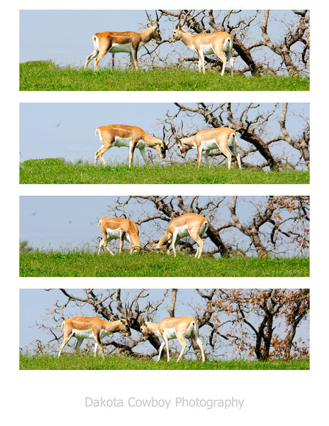 """March 24, 2012 - """"The Confrontation""""<br /> <br /> This sequence was shot over a period of less than 2 seconds.  The safari vehicle moved as I captured the last shot (bottom) and changed my perspective.  The Damas' were anxious to fight again over the same patch of grass at the end of this sequence.  This was captured while on Safari near Glen Rose, Texas.<br /> <br /> (450mm at 35mm)"""