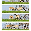 "March 24, 2012 - ""The Confrontation""<br /> <br /> This sequence was shot over a period of less than 2 seconds.  The safari vehicle moved as I captured the last shot (bottom) and changed my perspective.  The Damas' were anxious to fight again over the same patch of grass at the end of this sequence.  This was captured while on Safari near Glen Rose, Texas.<br /> <br /> (450mm at 35mm)"
