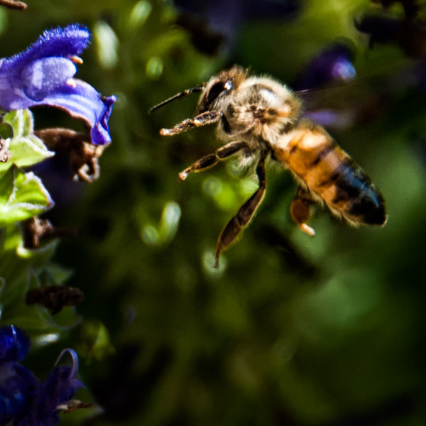 "October 11, 2011 - ""The Bee""<br /> <br /> Worked on my insect shooting skills today - long ways to go :)"