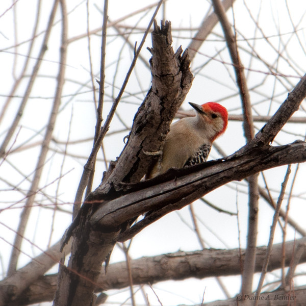 """January 30, 2012 - """"At Work""""<br /> <br /> - and spotted high in a tree Saturday while on a hike at Bob Jones Park Trail."""