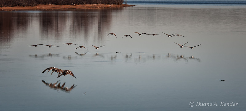 """January 19, 2012 - """"Bringing Up The Rear""""<br /> <br /> Photographed these Canadian Geese yesterday as they left a protected inlet and headed to the open water of Lake Grapevine.<br /> <br /> (Full screen viewing recommended)"""