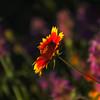 """Blossom On The Prairie"" - Gaillardia"
