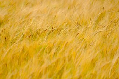 Scottish Grain