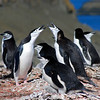 Chinstrap penguins on the nest