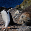 The Penguin & the Elephant Seal