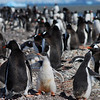 Big penguin colony at Yankee Harbour