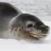 Leopard seal a.k.a. penguin eater