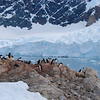 More penguins, gentoos I think