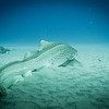 Leopard Shark at Manta Bommie