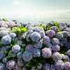 Arriving in Flores where there are a lot of hydrangeas.  They're cheaper than fences and just as effective against wandering cows