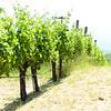 Vines in Sonoma Valley