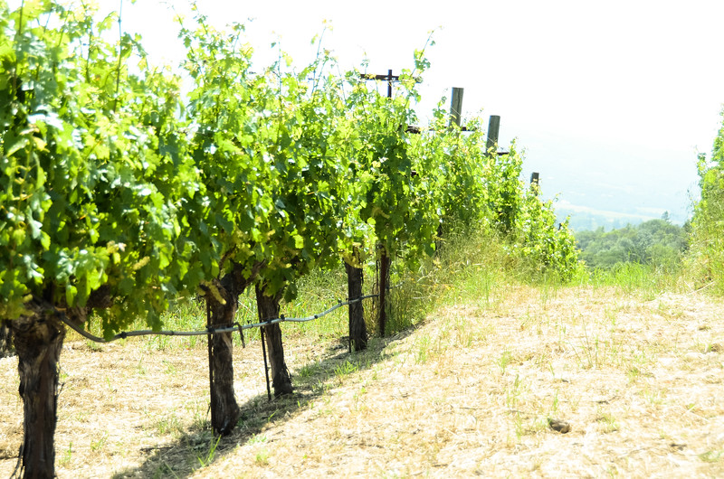 Vines in Sonoma Valley