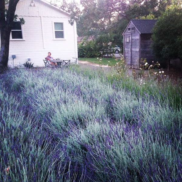 Beautiful lavender patch in the garden at our AirBnB in Sonoma