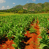 Tobacco, well Vinales is the home of the Cohiba!