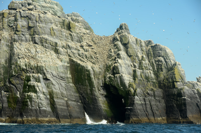 Lots of smelly gannets