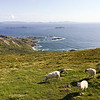 Sunshine and sheep on the Ring of Kerry