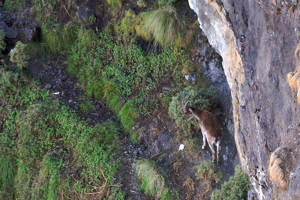 Walia Ibex