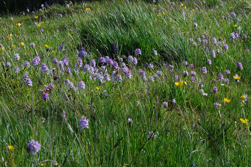 Hundreds of orchids in flower