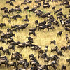 Great migration in the Mara