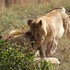 Lazy lions in the Masai Mara