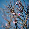 Peach blossom in Libibing