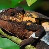 Smug chameleon