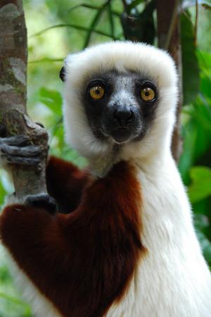 Lemurs & co