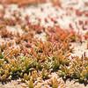 Tiny succulents on the Namib desert flats