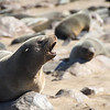 At Cape Cross there are a lot of fur seals.  A lot.  About 80,000, rising to 300,000 in the breeding season.  The consequences for the nose are dire