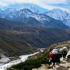 Yaks heading up to the higher mountains