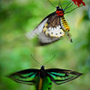 Birdwing butterflies at Walindi