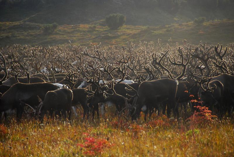 Sea of antlers