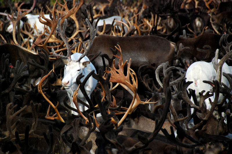 Part of a herd of about 2,000 reindeer owned by nomadic Evens living in the Central Mountains of Kamchatka