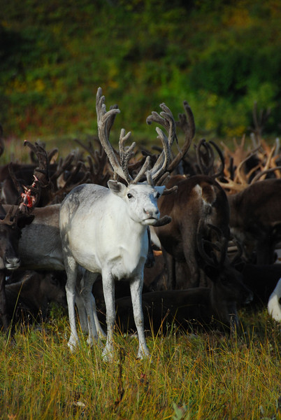 The white deer is the coolest - there were a few in the pack