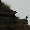 Stellers Sea Eagle - a relative of the Bald Eagle - even bigger & seriously impressive