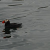 Tufted puffin.  Similar to the ones found in the Atlantic but with the fashionable yellow ear tufts