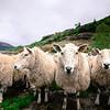 Menacing sheep