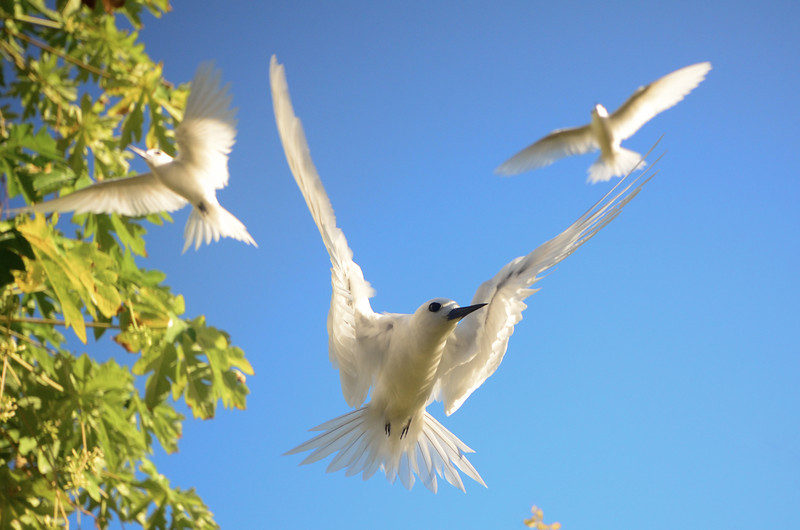 Fairy terns are very cute but don't like visitors