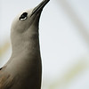 A statuesque Lesser Noddy.  It seems to have overdone the mascara