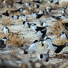 Sooty terns at the Bird Island colony.  There are about 1 million pairs nesting in an area about the size of a football pitch.  It's real National Geographic stuff although it has to be heard and smelled to be believed