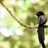 Super rare Seychelles Black Paradise Flycatcher.  They're limited to a little patch of forest on La Digue, behind the B&Bs and not far from the Barclays Bank.  There are only 300 left